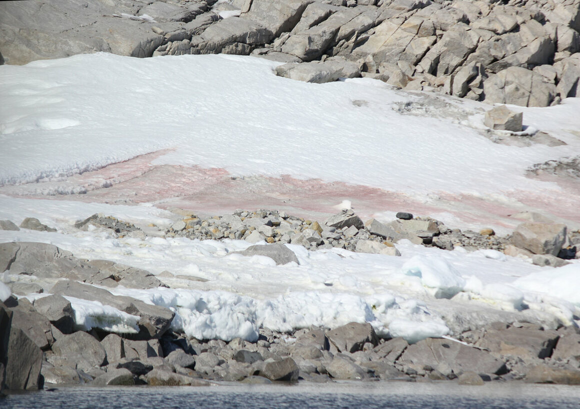 """""""Pink snow"""" is also found on Antarctica. The recent study looked only at green algae, but researchers hope to eventually study red algal blooms too, in an effort to better understand the algae's life cycle and physiology."""