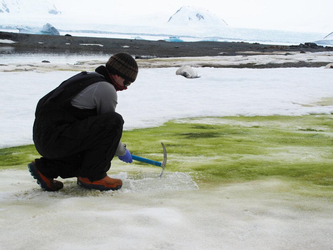 Researcher Matt Davey samples snow algae on Lagoon Island.