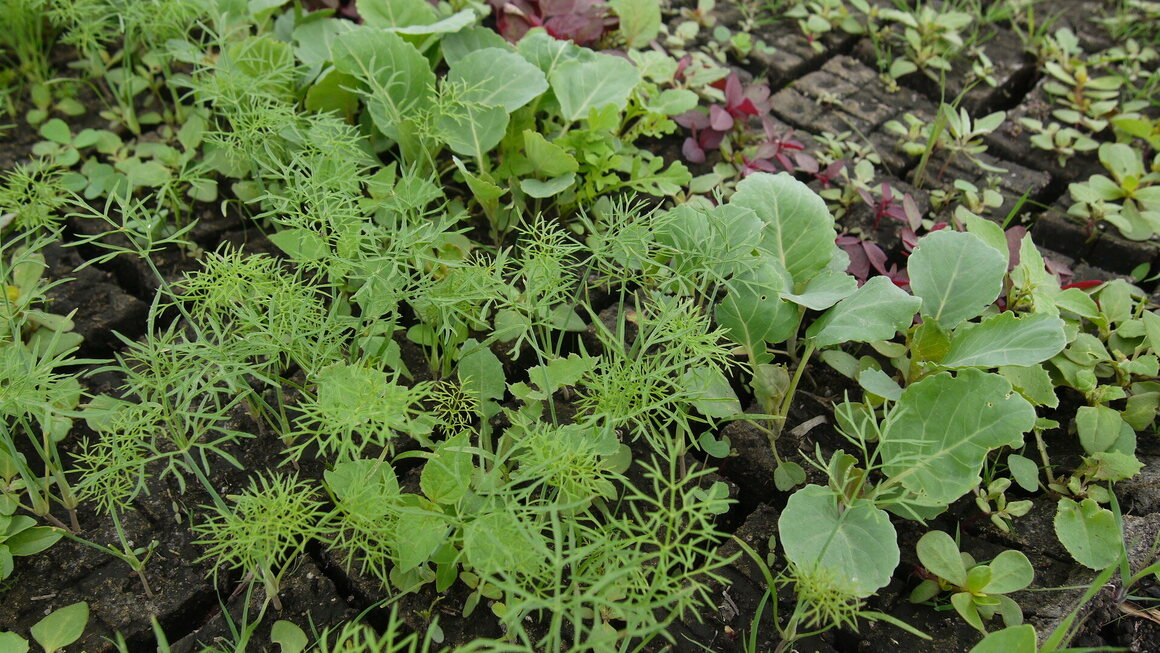Fennel, broccoli, and quelites (native greens to Mexico that often grow wild) growing in a chinampa.