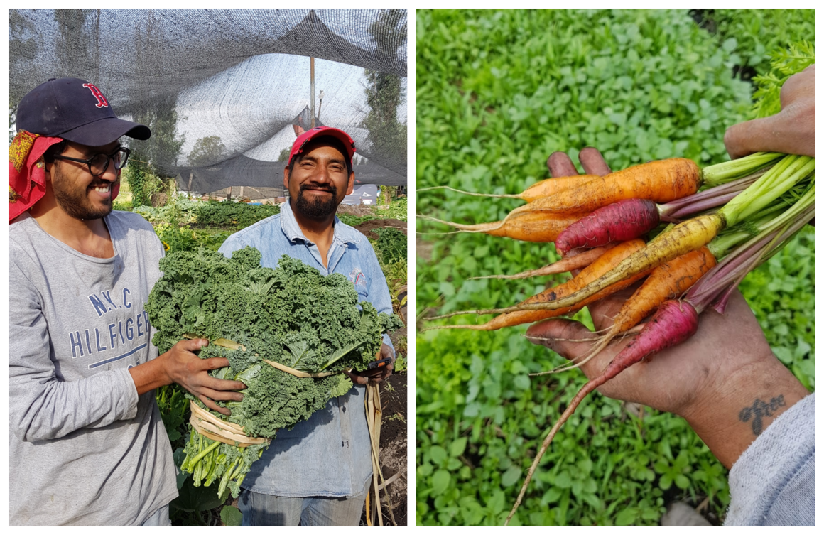 Mondragón and Capultitla taking in a harvest of kale (left) and a chinampero farmer holding a colorful array of carrots (right).