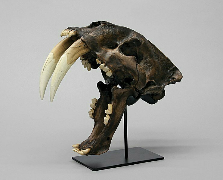 Check out the incisors on this <em>Smilodon fatalis</em> cast, from a skull found in the La Brea Tarpits.