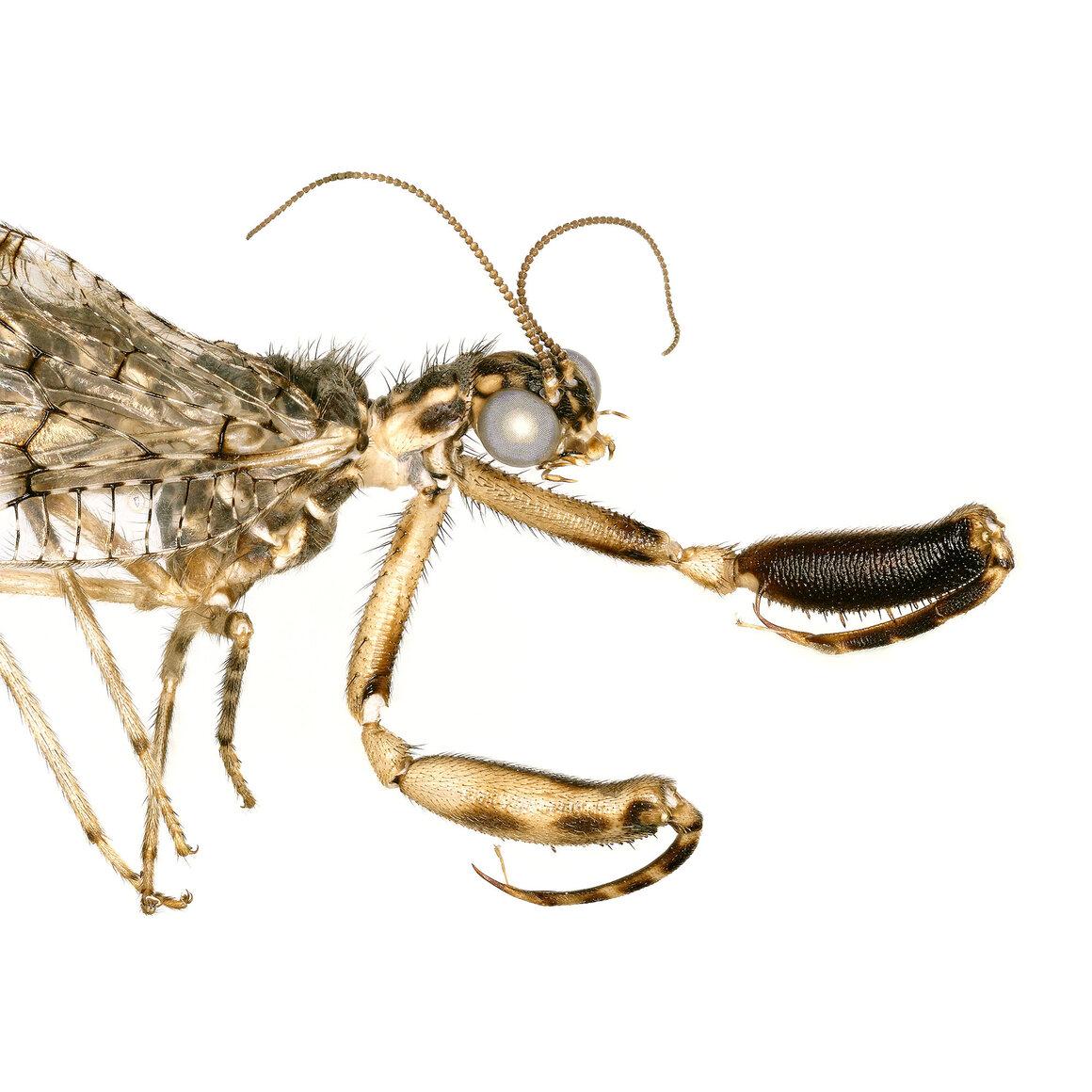Mantisfly from the genus <em>Plega.