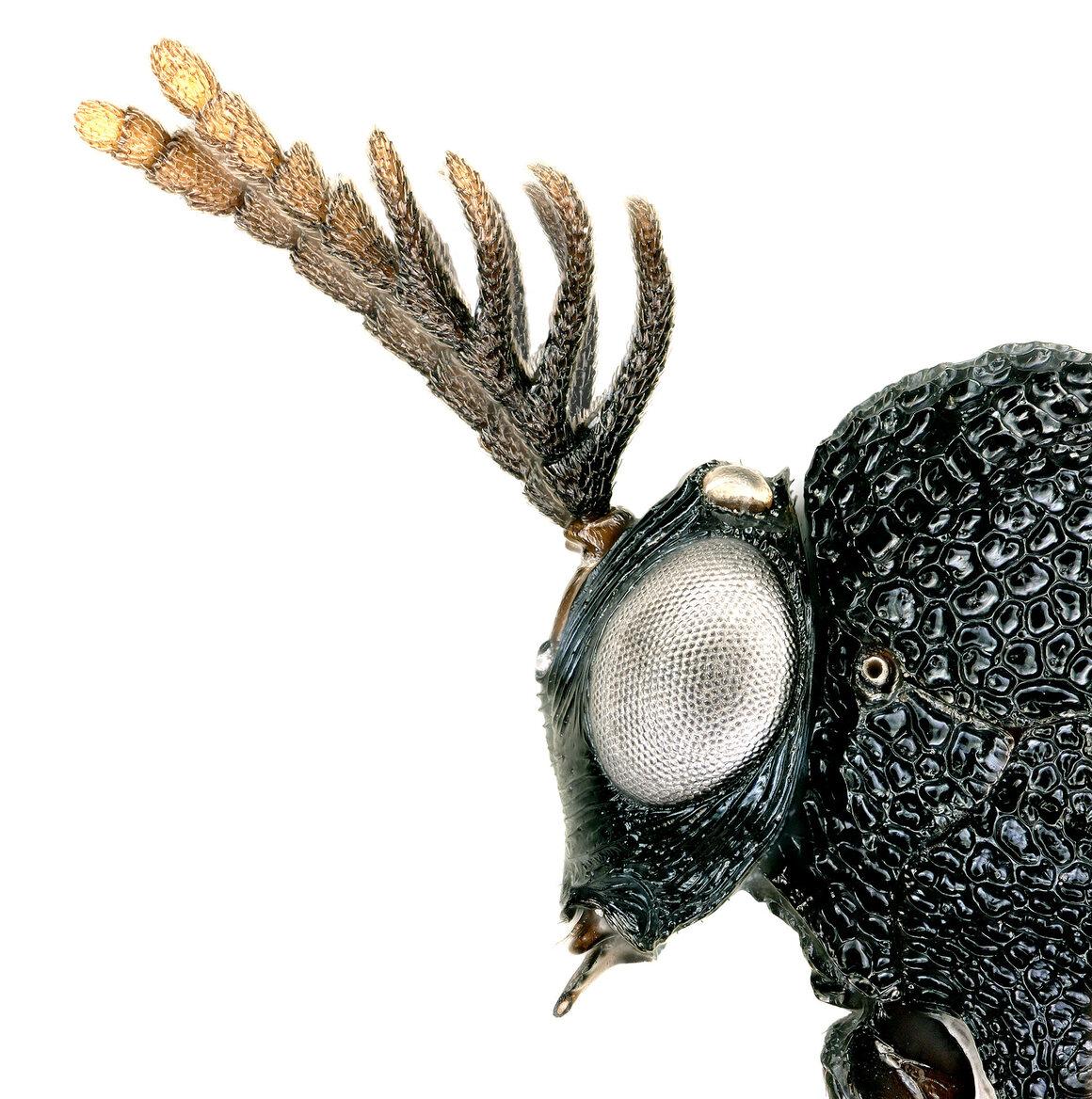 Eucharitid wasp, <em>Pseudochalcura gibbosa</em>.