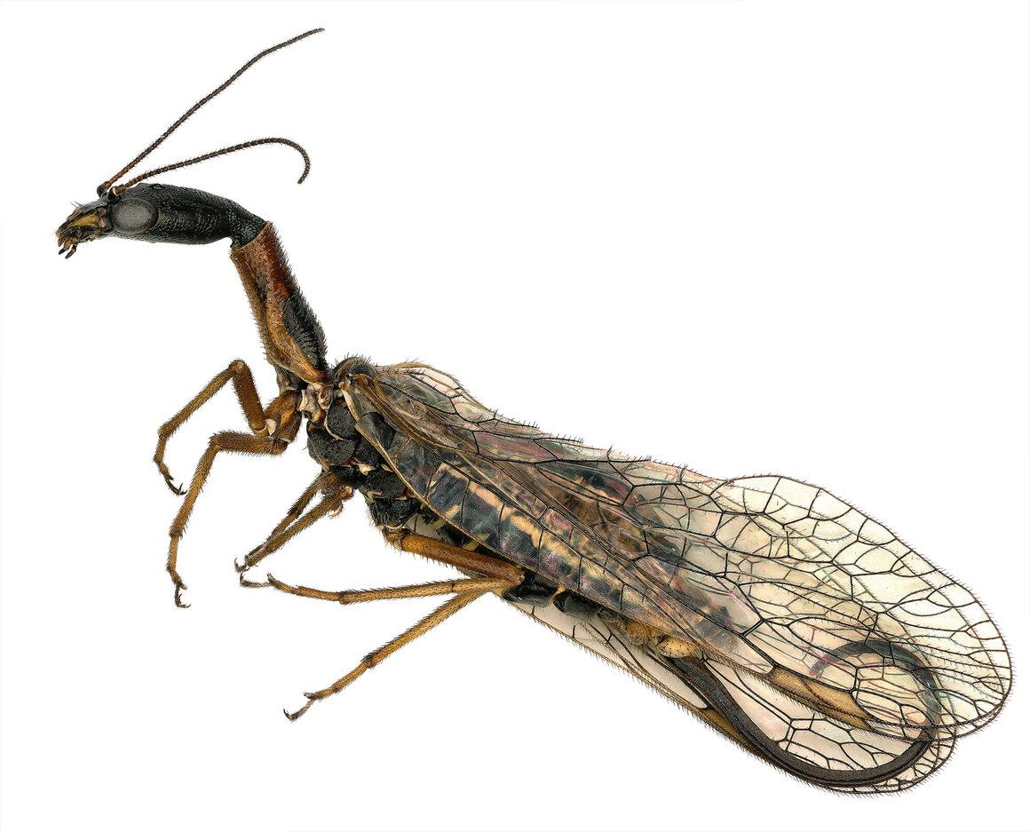 Snakefly from the genus </em>Agulla</em>.