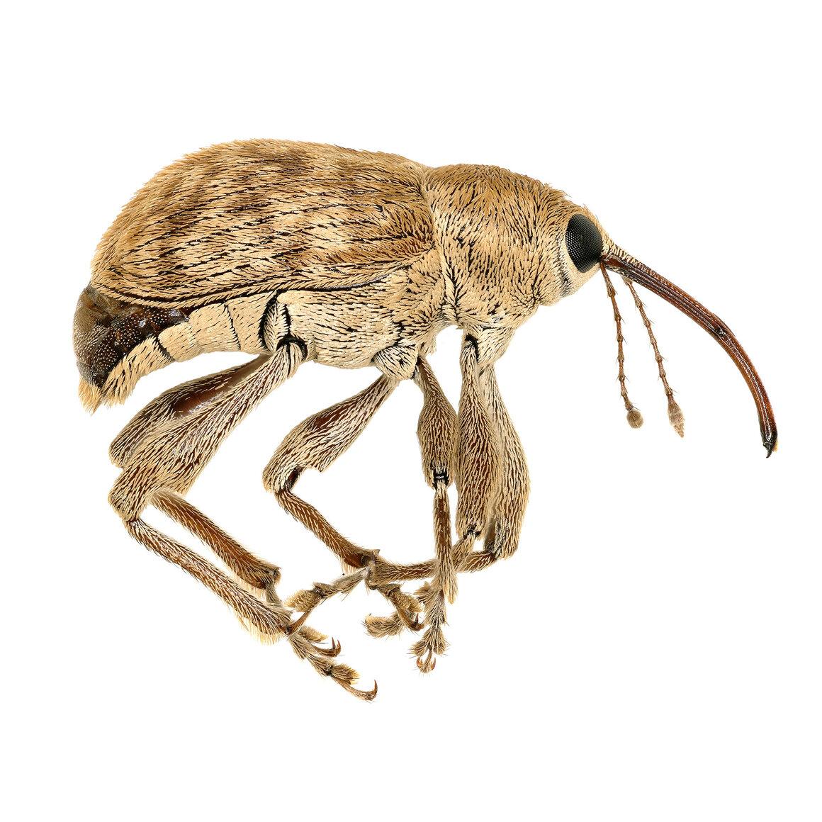 Acorn weevil, <em>Curculio occidentis</em>.
