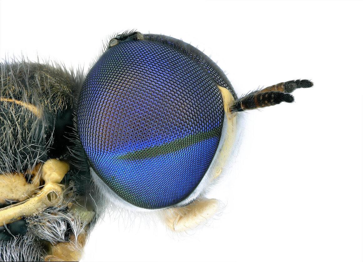 Soldier fly, <em>Euparyphus cinctus</em>.