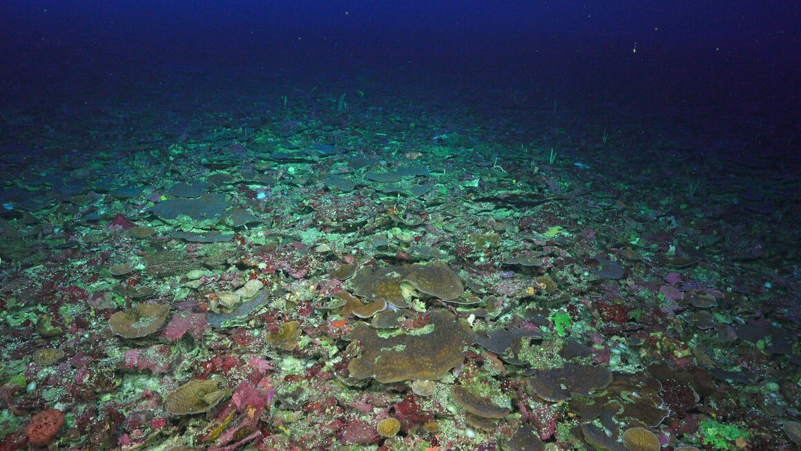 Once the lights go on, colors emerge. Most of this bed of hard coral belongs to the genus <em>Leptoseris</em>, a group abundant in the deeper waters of Hawaiʻi, but observed here for the first time in the Coral Sea. The pink and reddish hues belong to photosynthetic algae pulling energy from the dim light.