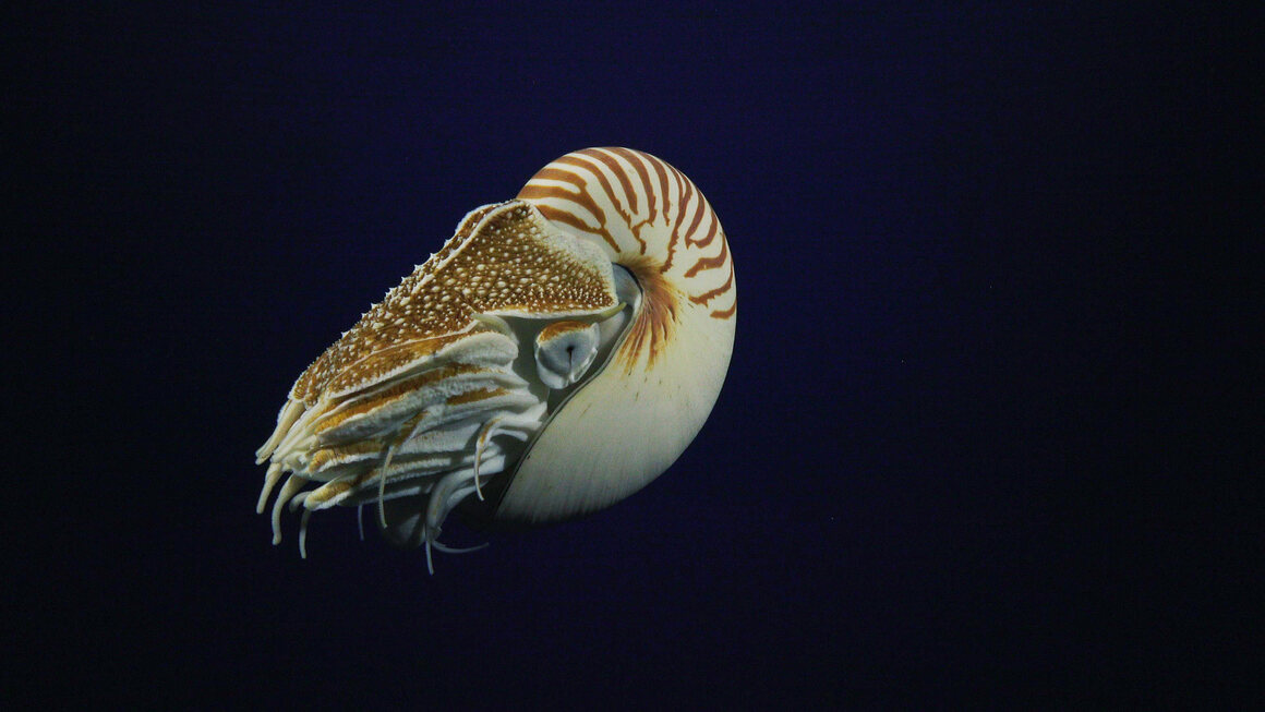 A living relic of ancestors that predate the dinosaurs, chambered nautiluses are buoyed by a shell that delicately balances the volume and density of the fluid in its chambers. These cephalopods dwell in lower depths and migrate hundreds of feet upward to hunt, using up to 90 retractable tentacles.