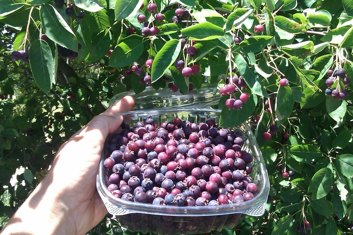 Ripe juneberries practically fall off the tree at a Boston-area park.