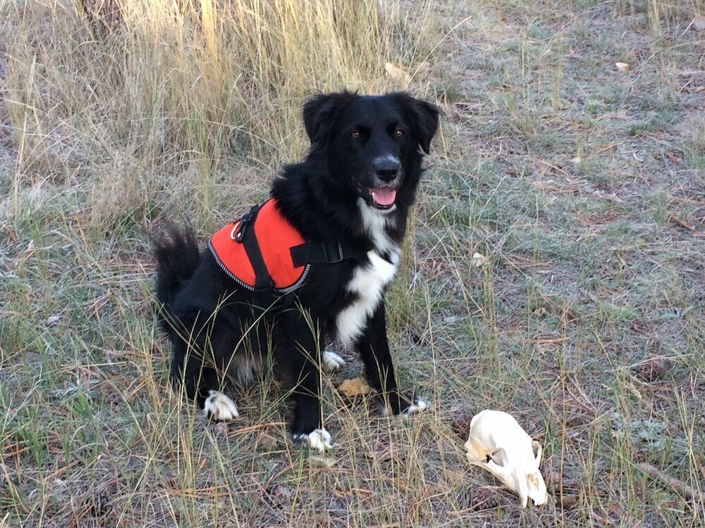 In Montana, archaeology dog Dax sits beside a bear skull she has successfully found in a training session.