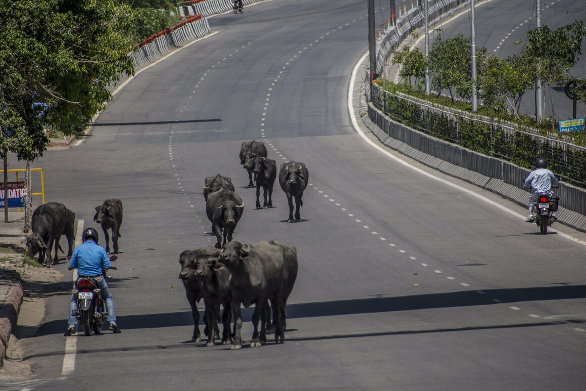 In April, Buffalo walked on an empty highway in India. The country was under an unprecedented, country-wide lockdown due to the coronavirus.