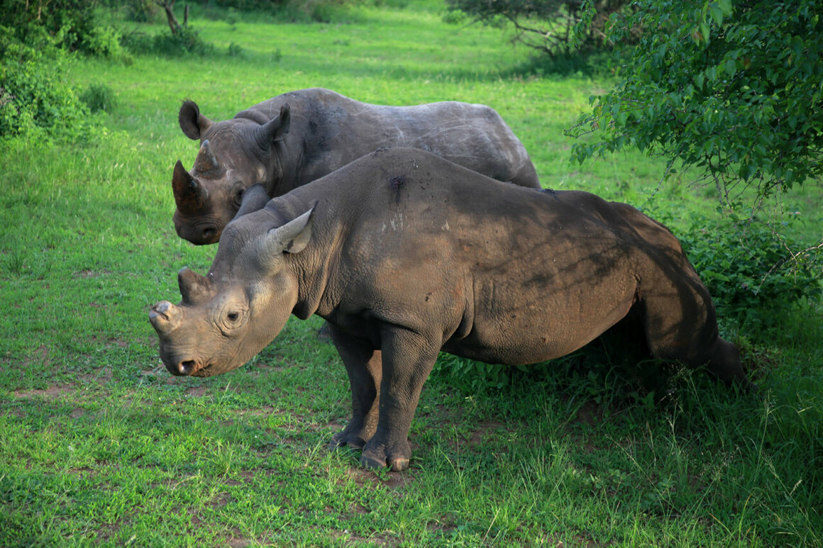 Black rhinos in Akagera National Park.