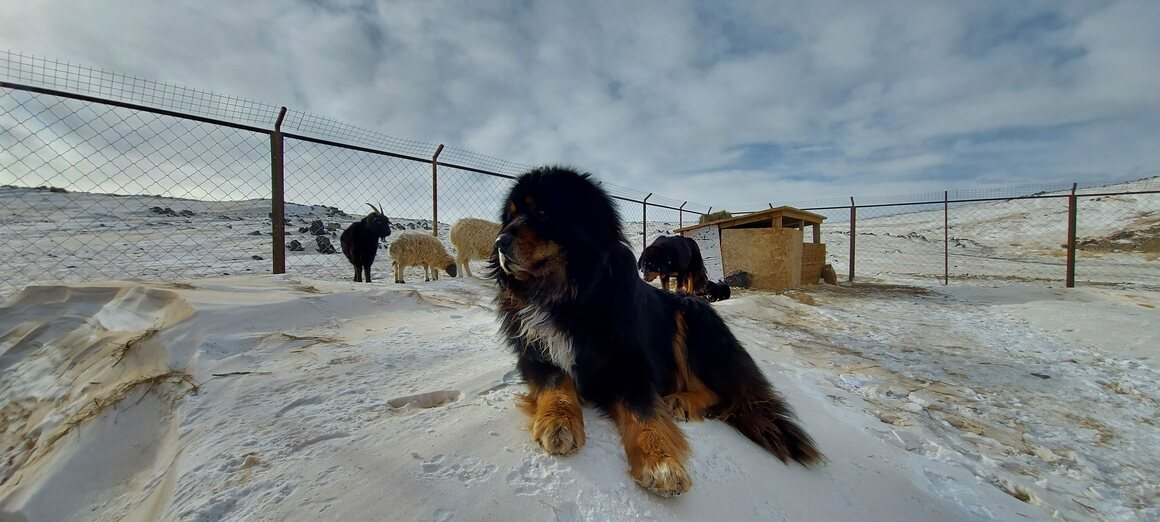 The bankhar dog's dense coat protects it from Mongolia's frigid winter weather.