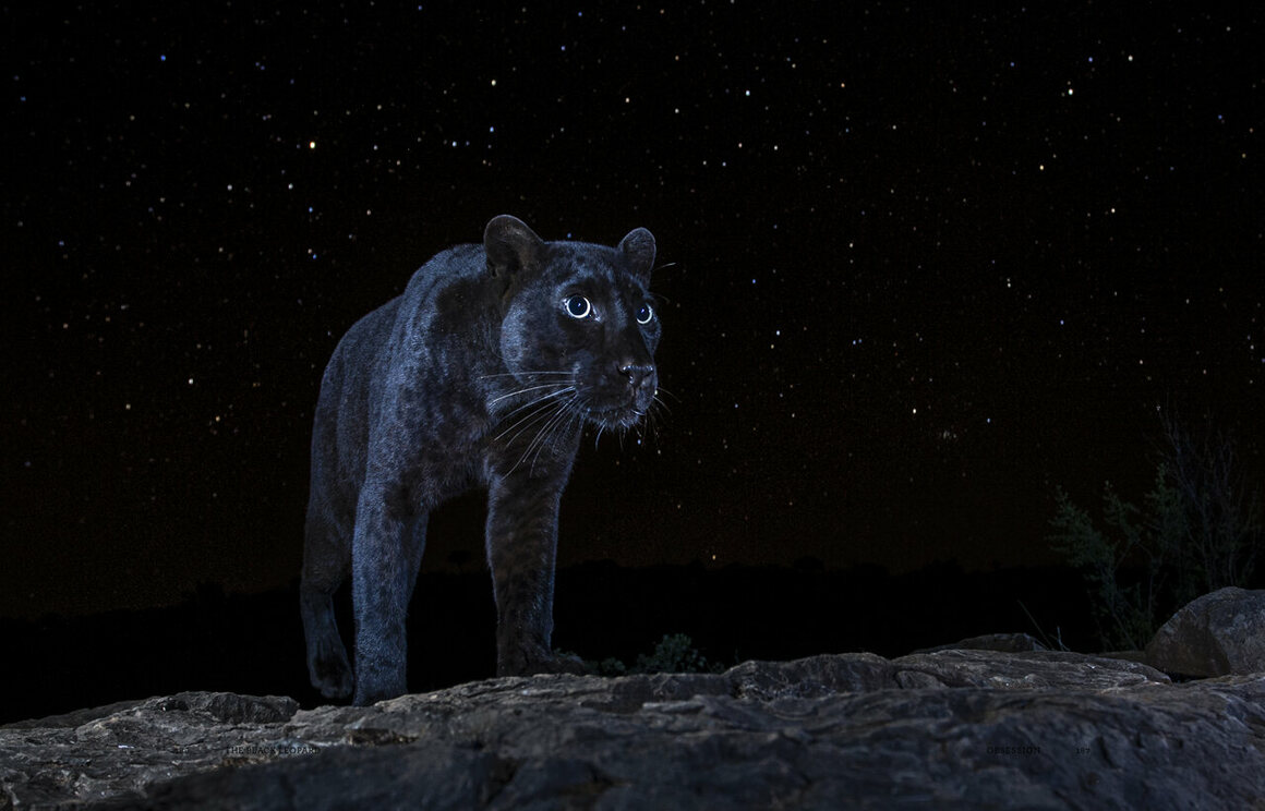 """""""Blacky on a starry night in Laikipia County, Kenya, July 2019. For a photograph like this to work, several elements must come together: The night has to be dark, with the moon below the horizon and no hint of twilight to lighten the sky; the stars need to be unobscured by clouds; and the animal has to be facing the right way."""""""