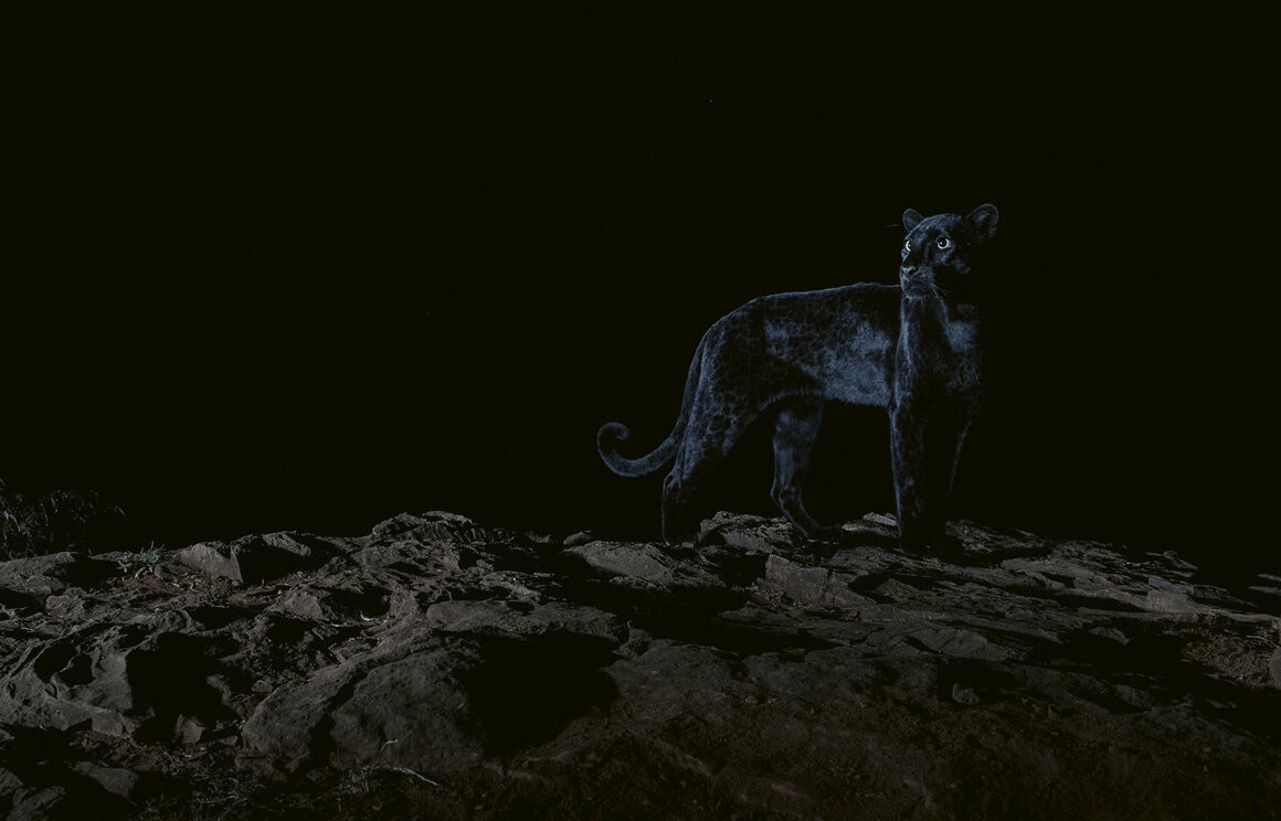 """""""Lighting an animal whose coat reflects almost no light at all was a unique challenge that really tested my creativity. I took the opportunity to experiment with dramatic lighting as shown here, when the moon phase meant it was too bright to attempt photographs that showed the stars. Laikipia County, Kenya, July 2019."""""""