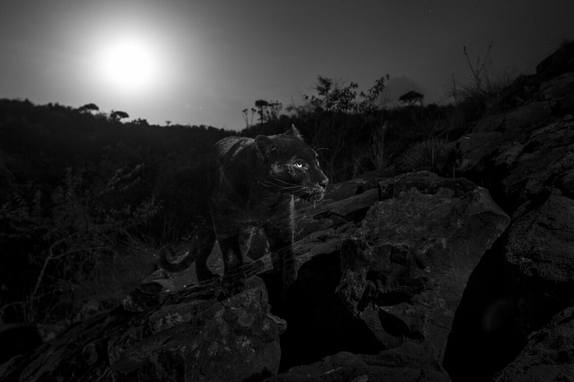 """""""The black leopard with the full moon setting behind. This photograph was taken in the spot suggested by Mohammed Parasulan, a local Maasai who first told me about seeing the black leopard on the rocks above Luisa's house, Laikipia County, Kenya, January 2019."""""""