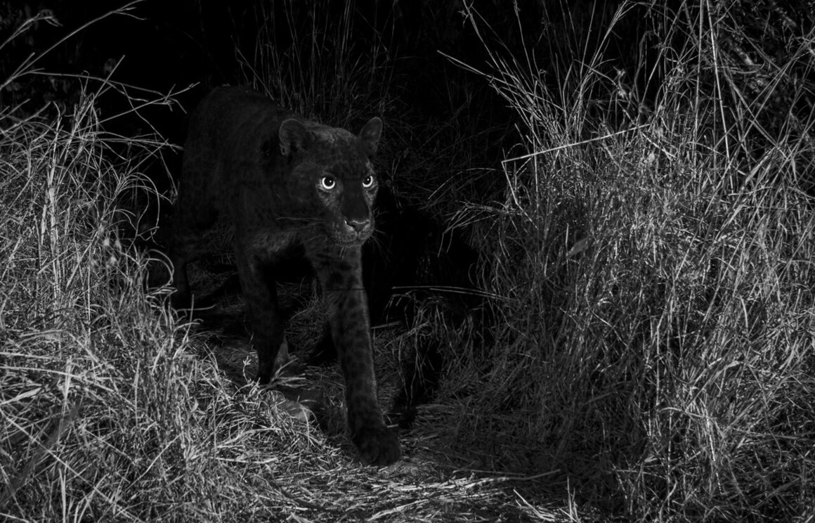 """""""The African black leopard photographed with an infrared-converted DSLR camera trap. This image was captured on the animal trail identified by Steve Carey, the coowner of Laikipia Wilderness Camp, near Luisa Ancilotto's house in Laikipia County, Kenya, January 2019."""""""