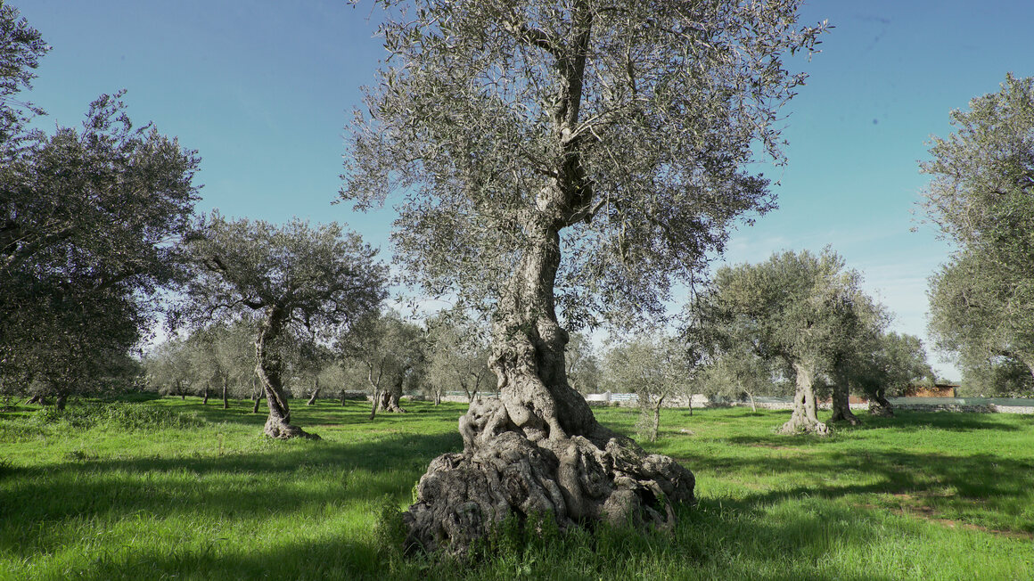 A tree with centuries-old roots recently infected by Xylella.