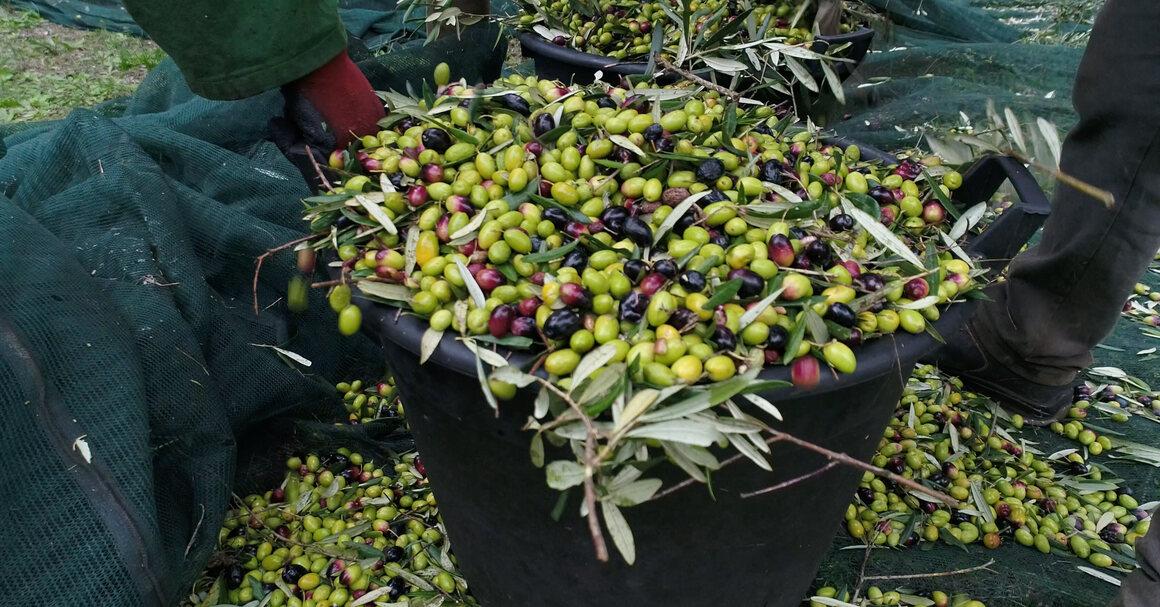 Harvesting olives in northern Puglia.<br />