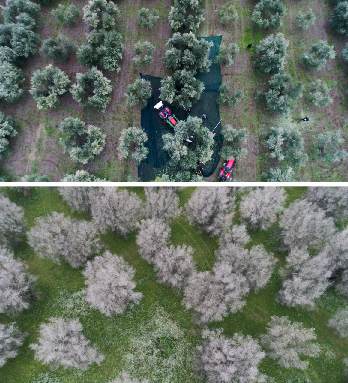 A recent harvest in northern Puglia, where the disease has not yet arrived (top), and dead olive trees in Scorrano, Italy (bottom).