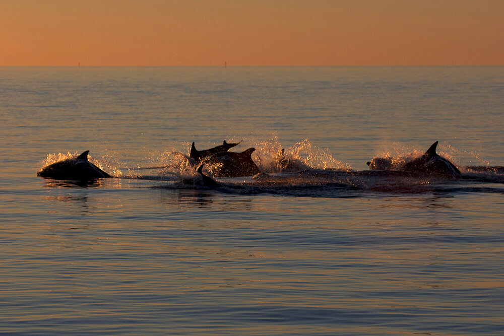 One dolphin alliance pursues another with a female.
