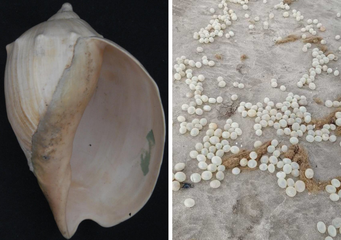 The egg capsules of <em>Adelomelon brasiliana</em>, a large snail, float freely, but sometimes end up beached.