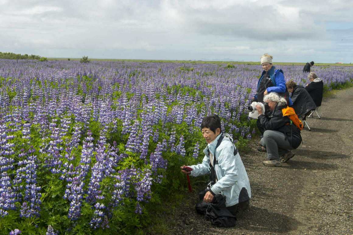 Lupines have delighted tourists to Iceland in recent years.