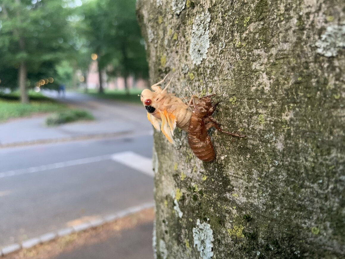 A teneral emerges from its nymphal shell on the Princeton University campus.