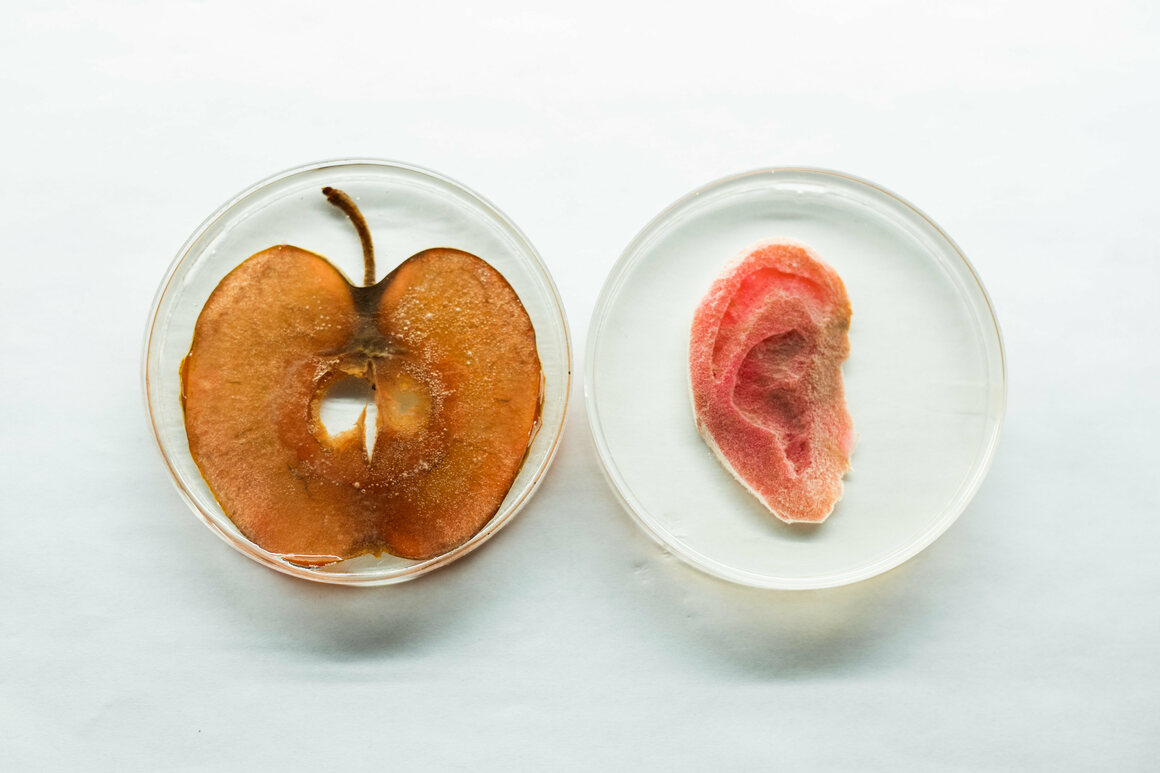 A decellularized apple transformed into an artificial ear (right).