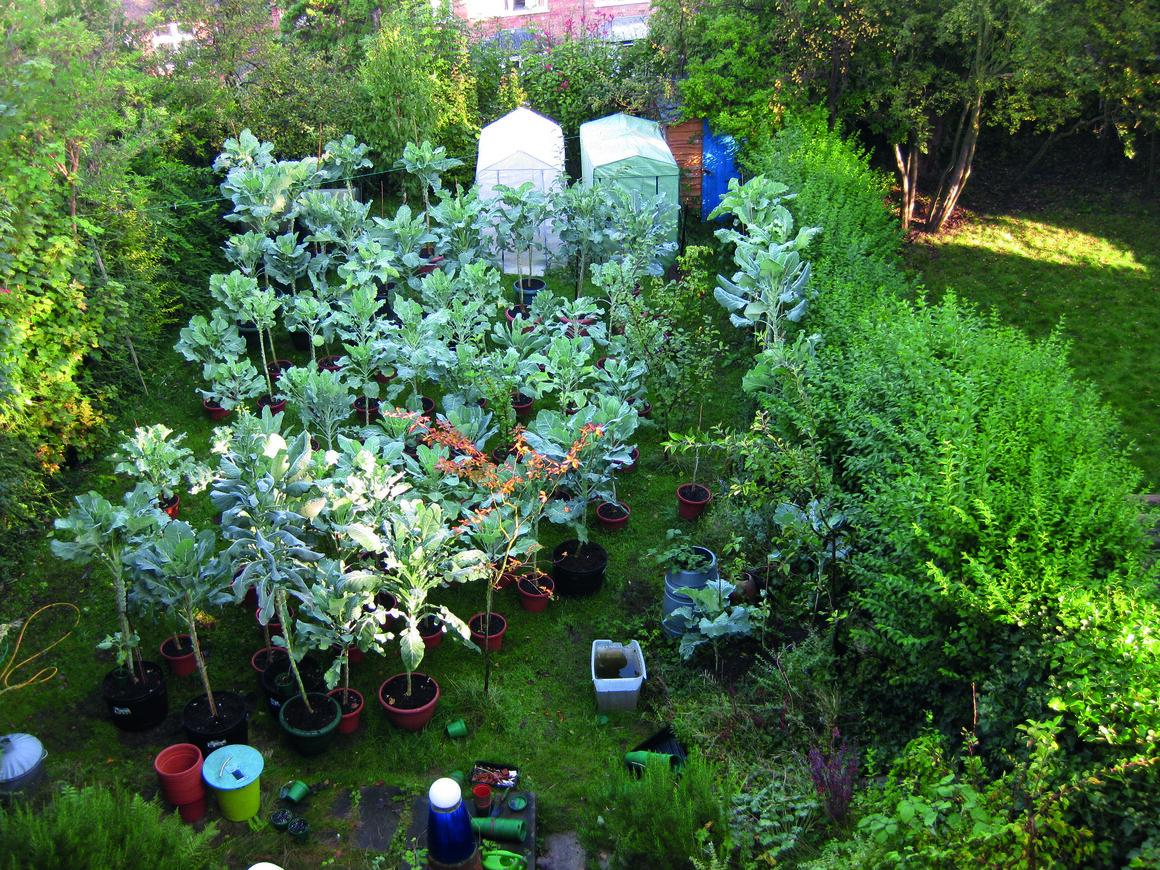 Walking-stick kale growing in Newling's back garden, which he views as an artist studio.