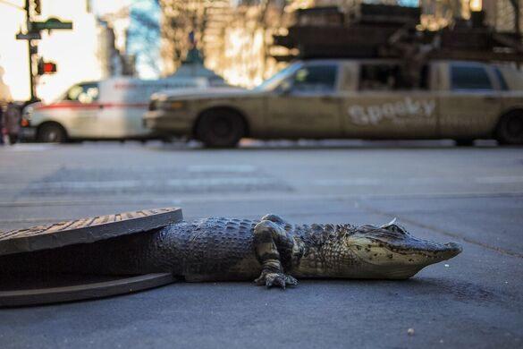 Urban Legends at LosJoCos: Sewer Gator