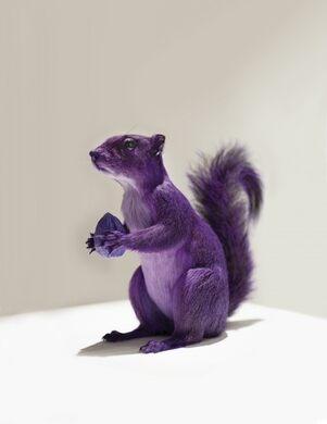 Hearsay at LosJoCos: The Purple Squirrel