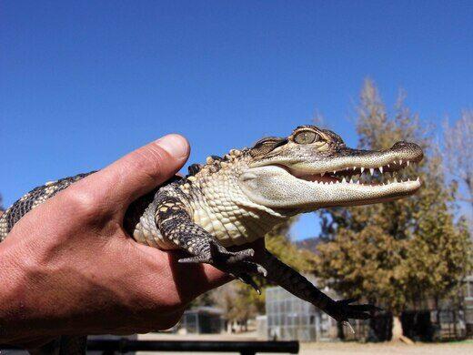 Rescued baby alligator