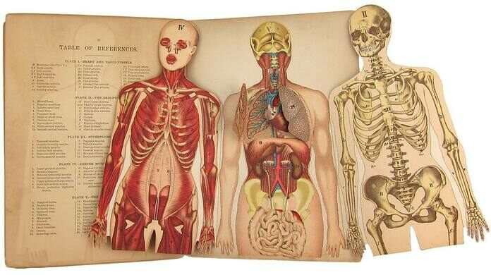 Dissected plate from Whittaker's Anatomical Model, by William S. Furneaux (ca. 1896)