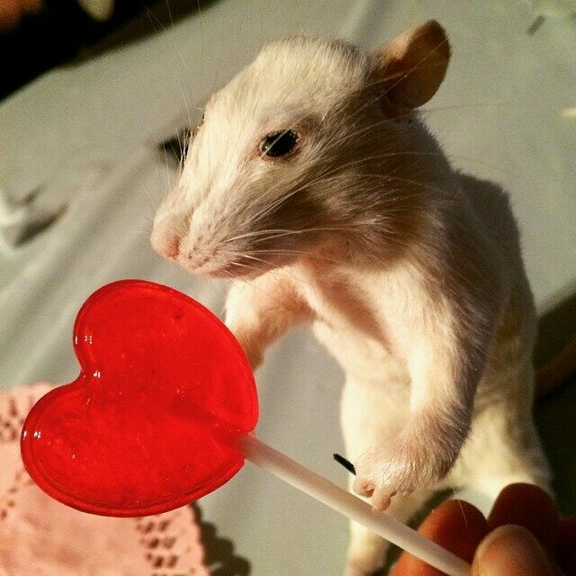 Rat Taxidermy With Afterlife Anatomy Atlas Obscura