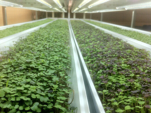 Hydroponic crops grown by Greens and Gills, a tenant at The Plant.