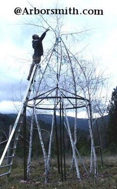 Reames at the top of a birch gazebo.