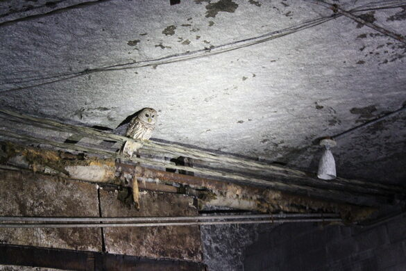 Grotto Owl