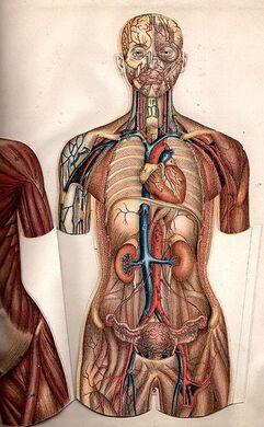 Female anatomy 1897