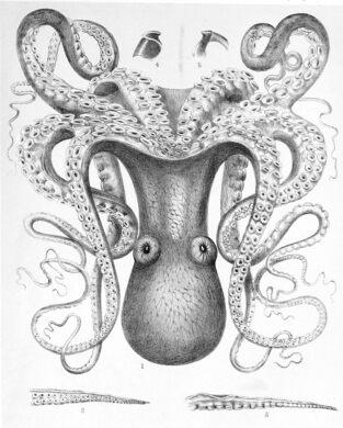 Octopus cyanea