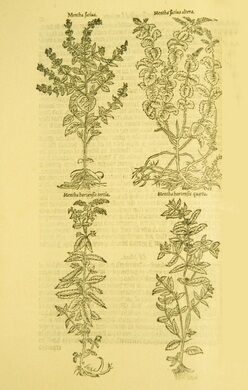 Full-page woodcut of four types of mint plants in the Herbal of William Turner's