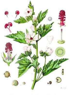 """""""Althaea officinalis"""" by Franz Eugen Köhler in Köhler's Medizinal-Pflanzen"""