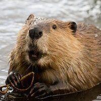 Profile image for beaver