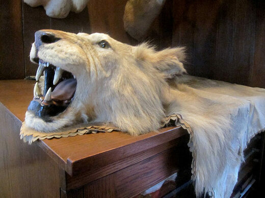 Lion taxidermy in the the Trophy Room