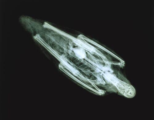 X-ray of Ibis Mummy .