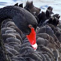 Profile image for Blackswan