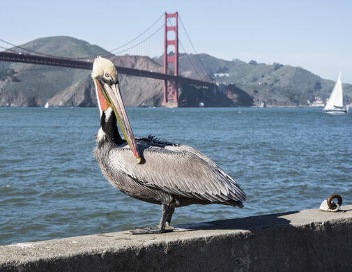 Pelican and the Golden Gate Bridge