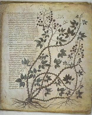 Medicinal herb drawing, 512 A.D.