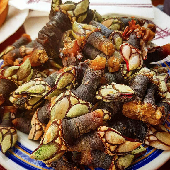 "Gooseneck barnacles are called ""percebes"" in Spanish."