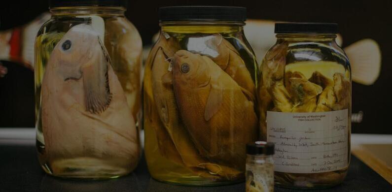 Fish specimens in jars